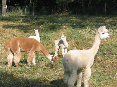 alpacas5